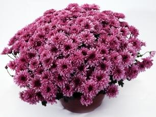 15-chryzantema-drobnokwiatowa-17