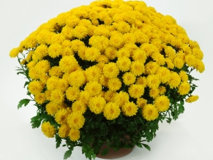 17-chryzantema-drobnokwiatowa-17