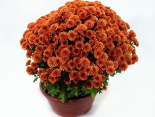 18-chryzantema-drobnokwiatowa-19